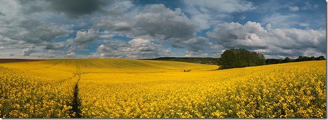 Polja uljane repice u Mađarskoj.