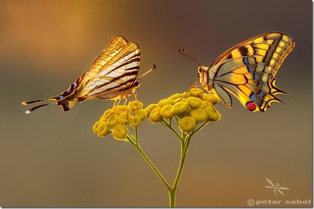 Petar_Sabol_Swallowtail beauty contest