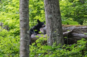 Black Bear GSM